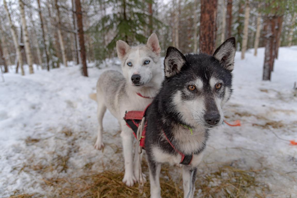 Gli husky di Ulla
