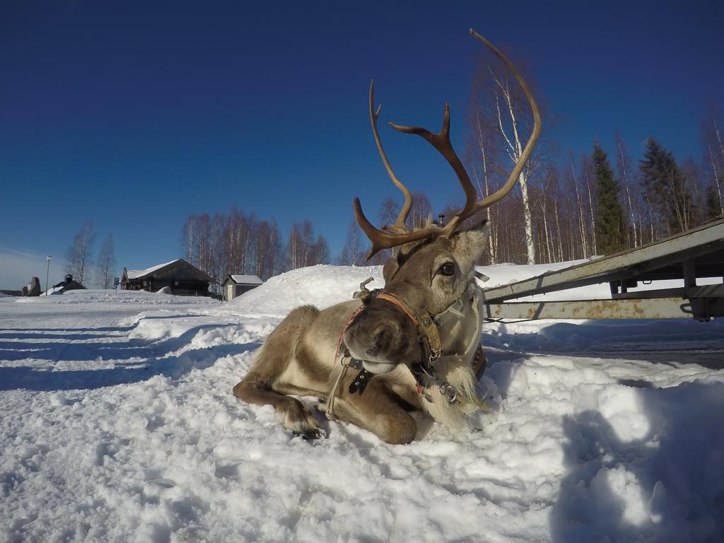 Una renna, regina incontrastata delle regioni artiche