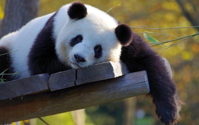 Intervista ad Alice Rolling Pandas