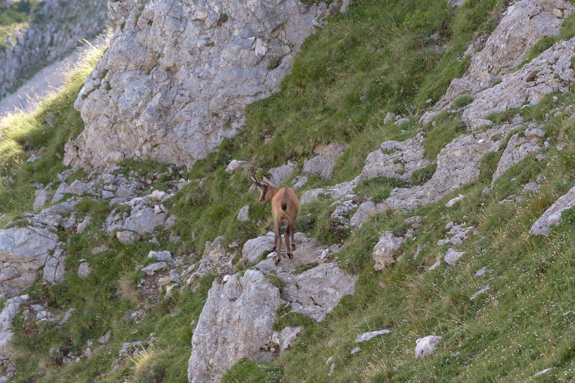 Camoscio presso Passo Cavuto, Val di Rose