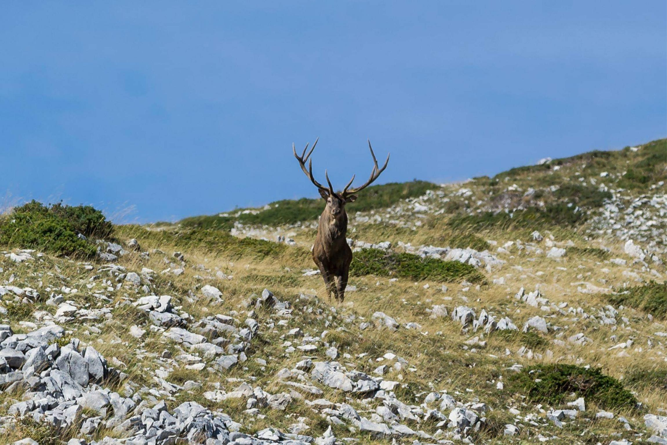 Cervo in tutto il suo splendore presso Valle Lunga